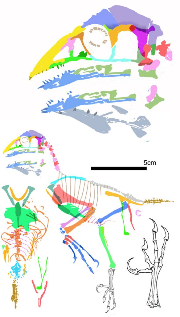 Figure 2. Changchenornis reconstructed.