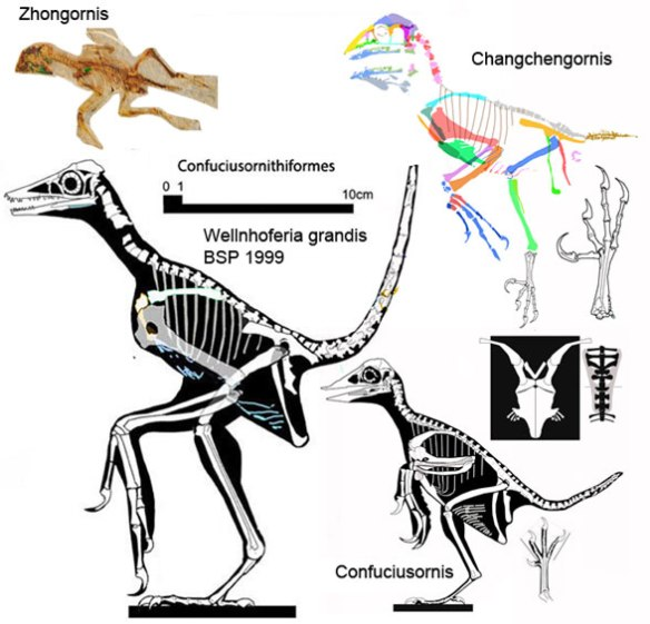 Figure 4. Confuciusornithiformes to scale. Note the lack of a pygostyle in the majority of taxa.