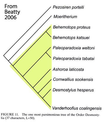 Figure 2. From Beatty 2006b, a phylogeny of desmostylians derived from moeritherium, an aquatic relative of elephants and sirenians (manatees). Actually desmostylians arise from cambaytheres and anthracobunids, arising from hippos and mesonychids.