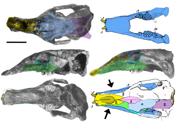 Figure x. Desmostylus skull in several views. Note the nasals have a different shape (upper left) than originally traced (lower right). Arrows point to wider mandibles than rostrum.