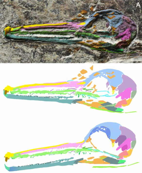 Figure 2. Dingavis skull. The large anterior teeth were overlooked in the original description. The naris appears to be quite elongate here.
