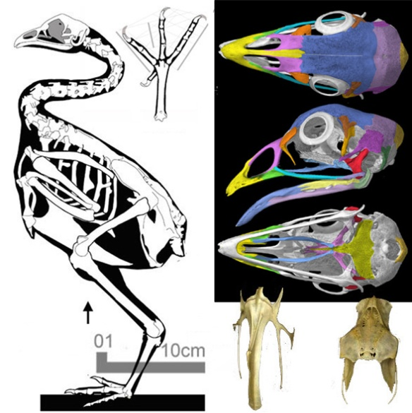 Figure 2. Gallus, the chicken, nests as a sister to the Early Cretaceous, Eogranivora, also a seed-eater.