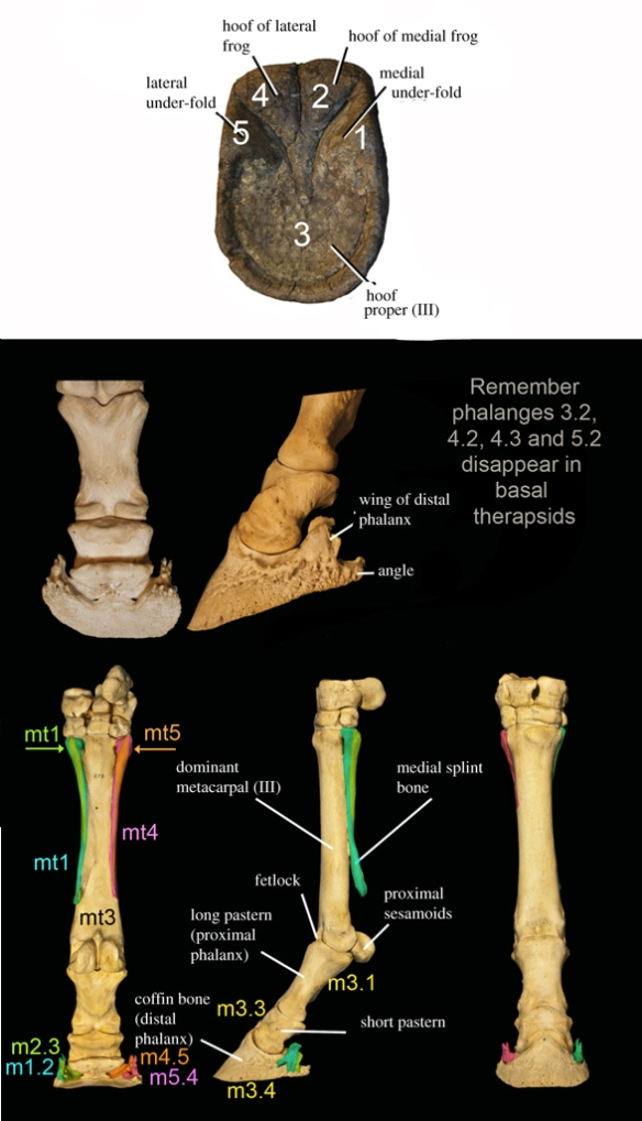 Figure 1. Horse fingers 2 and 4 extend to the hoof, separated from the metacarpals 2 and 4 by unossified tissue.Image from Solounias et al. 2017.