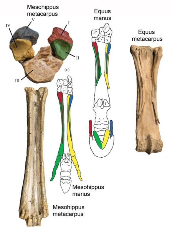 Figure 2. The modern horse, Equus, and extinct horse, Mesohippus manus. Colors over bones added here.