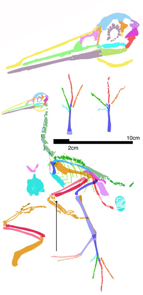 Figure 2. Juehuaornis reconstructed. Note the scale bars. This is a tiny bird.