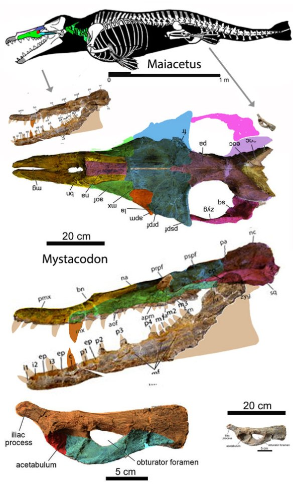 FIgure 1. This toothy whale with a tiny pelvis is Mystcodon, originally promoted as the earliest known mysticete (baleen whale).