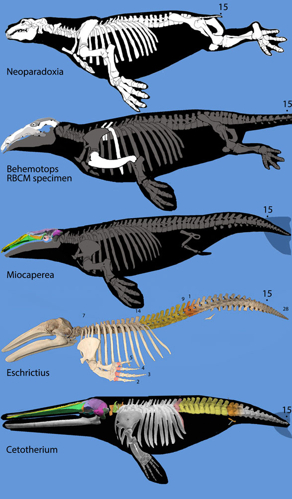Figure 1. Rorqual evolution from desmostylians, Neoparadoxia, the RBCM specimen of Behemotops, Miocaperea, Eschrichtius and Cetotherium, not to scale.