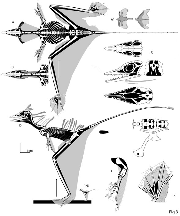 Figure 3. Sharovipteryx reconstructed. Note the flattened torso.