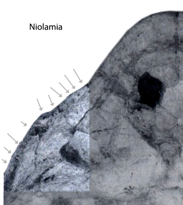 Figure 1. Palate of the basal turtle Niolamia with arrows pointing to pinprick alveoli lacking teeth.