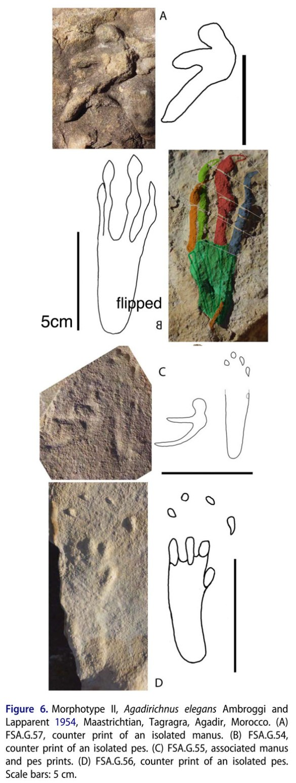 Figure 1. A variety of tracks inappropriately labeled Agadirichnus. Here one pedal track is matched to Middle Jurassic Darwinopterus, perhaps by convergence. But maybe not.
