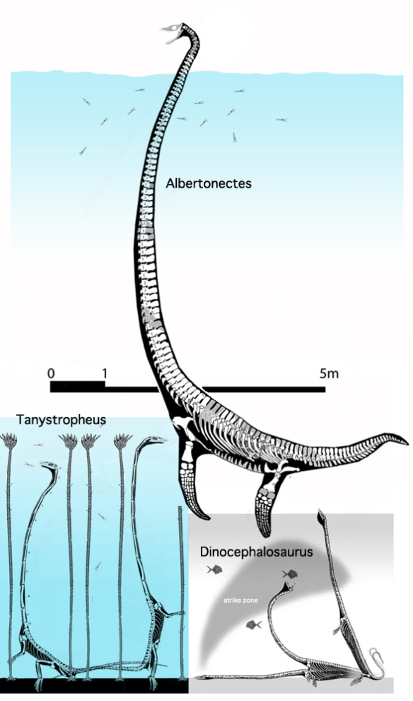 Figure 1. Albertonectes, Tanystropheus and Dinocephalosaurus to scale.