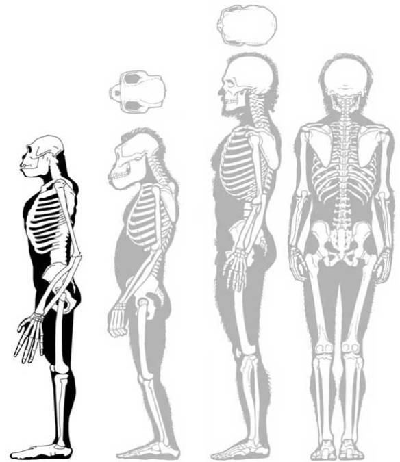 Figure 5. Ardipithecus in lateral view compared to Australopithecus and Homo (ghosted out).