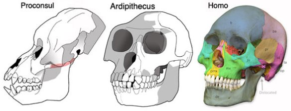 Figure 4. Ardipithecus is a transitional taxon between Pronconsul and Homo.