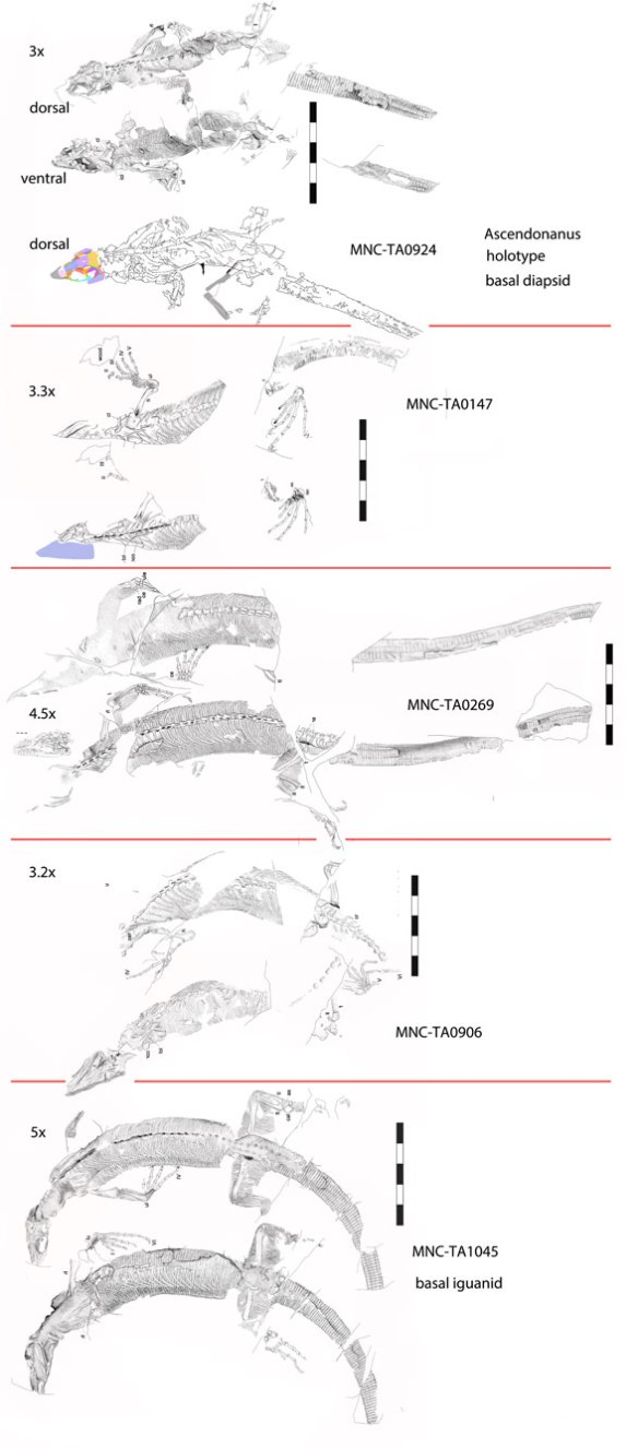 Figure 1. The five specimens from the Ascendonanus quarry, all to the same scale. Most images from Spindler et al. 2018. Some have skulls 3x the occiput/acetabulum length. Others as much as 5x, the first hint that these taxa are no conspecific.
