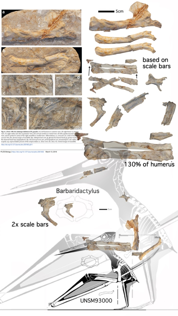 Figure 3. Barbaridactylus, a giant nyctosaurid. If the wing was like UNSM 93000, then it could fly. If the wing was like Alcione, then it could not. The scale bars did not match the text description on the ulna + radius, so both sizes are shown.