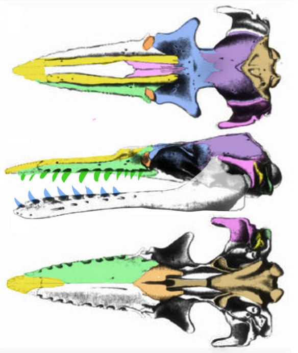 Figure 3. Chonecetus has a more primitive skull with nares closer to the snout tip and no maxilla above the orbit.