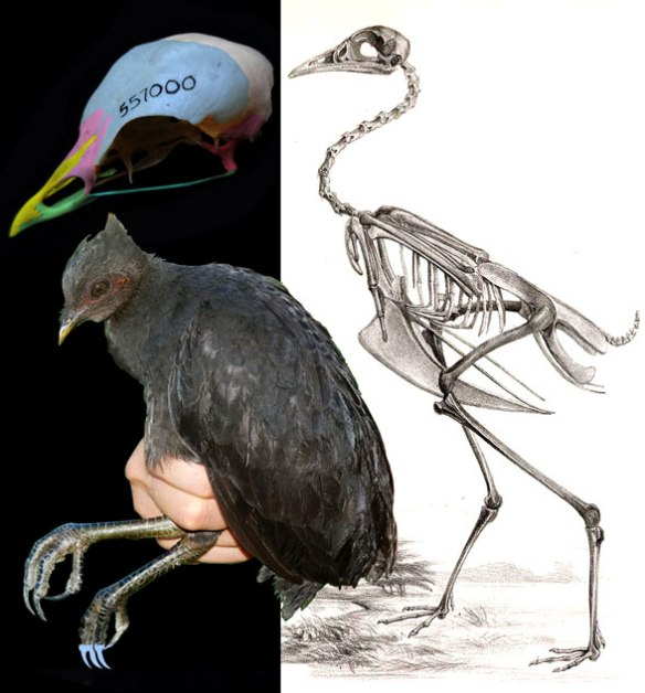 Figure 1. Megapodius is the extant bird nesting at the base of all neognathae (all living birds except ratites).