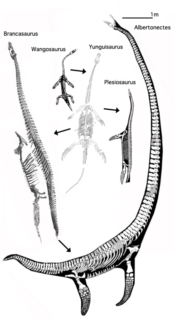 Figure 3. Albertonectes reconstructed. This 11 m elasmosaur is the longest thusfar recorded. This may be the breathing pose, swallowing air, then submerging the neck. When horizontal the air could be passed back to the lungs, as hypothesized for Dinocephalosaurus.