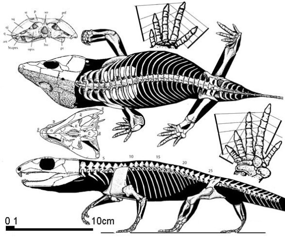 Figure 1. Eocaptorhinus apparently was able to drop its tail to confuse and evade a predator. Is this why the tail tip is missing in this specimen from 1979?