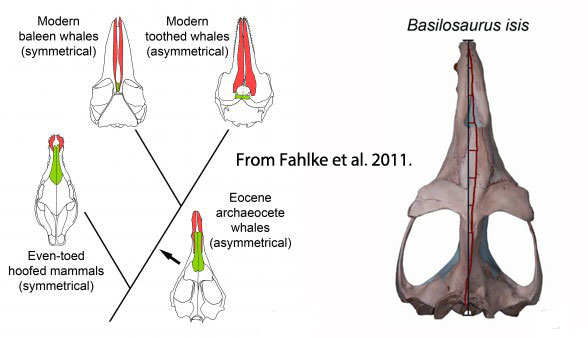 Figure 1. Skull asymmetry in odontocete whales from Fahlke et al. 2011.