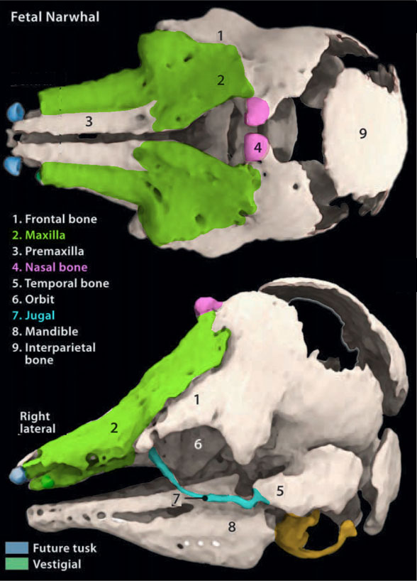 Figure 7. Fetal narwhal skull, here colorized from Nweenia et al. 2012. The jugal disappears in adults.