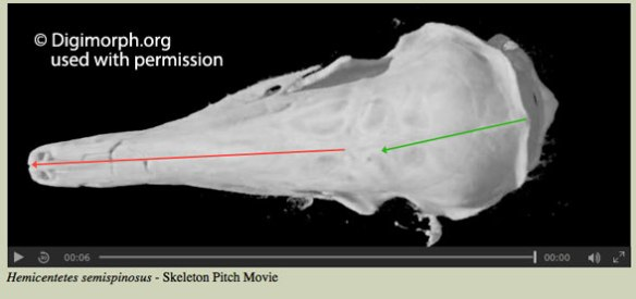 Figure 1. Skull asymmetry in odontocete whales from Fahlke et al. 2011.