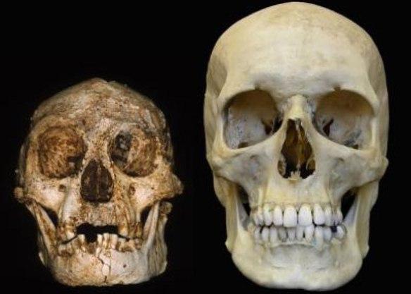 Figure 2. Homo floresiensis to scale compared to Homo sapiens
