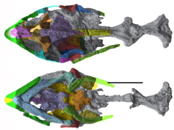 Figure 2. Perochelys skull in dorsal and ventral views.