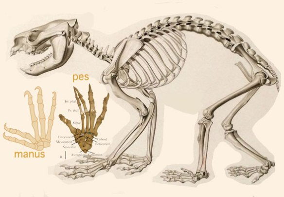 Figure 2. Skeleton of the koala (genus: Phascolarctos)