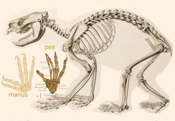Figure 2. Skeleton of the koala (genus: Phascolarctos)