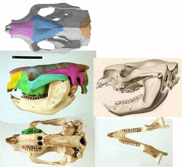 Figure 3. Koala (Phascolarctos) skull