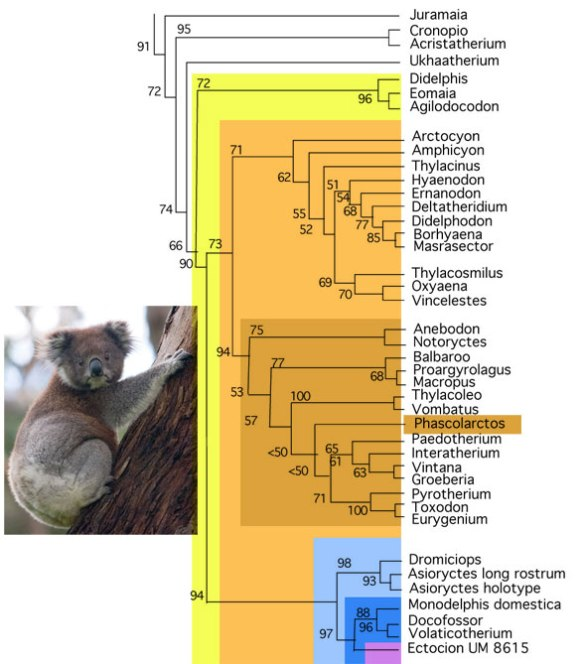 Figure 1. The koala, Phascolarctos cinereus, nests between Thylacoleo + Vombatus and the interatheres and toxondontids in the herbivorous clade of the Marsupialia.
