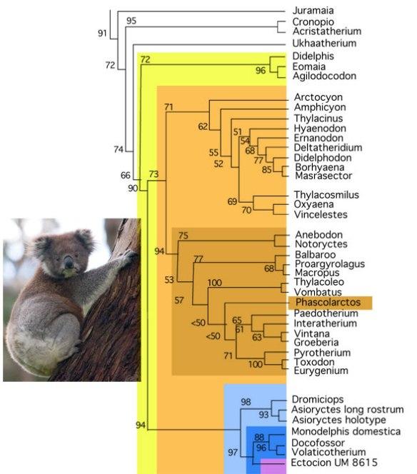 Figure 1. The koala, Phascolarctos cinereus, nests between Thylacoleo + Vombatus and the interatheres and toxondontids in the herbivorous clade of the Marsupialia.
