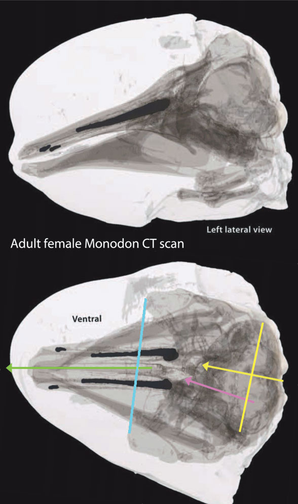 Figure 6. CT scans of a female narwhal (Monodon) showing soft tissues and unerupted teeth. Note the angle of the posterior skull relative to the anterior.