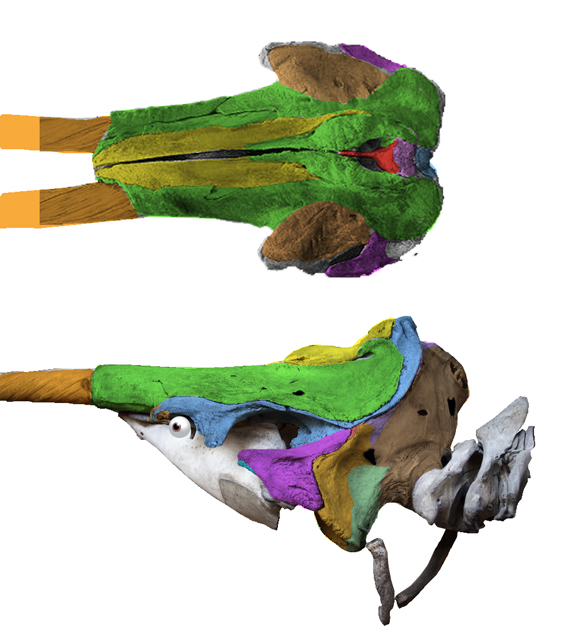 Figure 1. Distinct from most narwhals, this skull also has right tusk emerging from the canine position. And yes, that's the maxilla covering most of the skull, even above the orbit! I added an eyeball here to help locate the orbit. The mesethmoid is the red bone that divides the naris (blow hole).