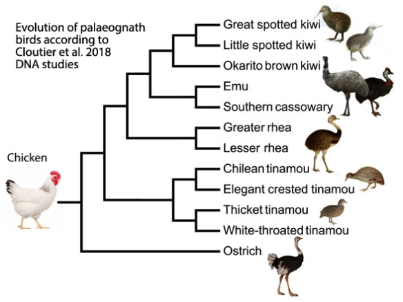 Fig. 1. Cladogram from Cloutier et al. 2018 on palaeognath relations based on whole-genome analyses.