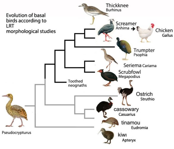 Figure 2. Basal bird phylogeny based on the LRT (morphology)