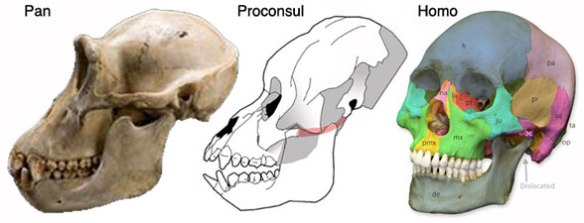 Figure 2. The skulls of Pan (the chimp), Proconsul and Homo (the human) for comparison.