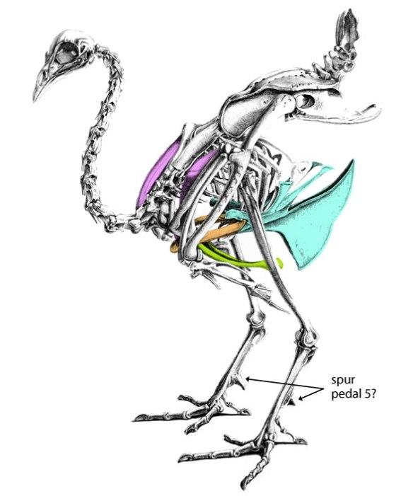 Figure 2. Peafowl skeleton. Select bones colorized.