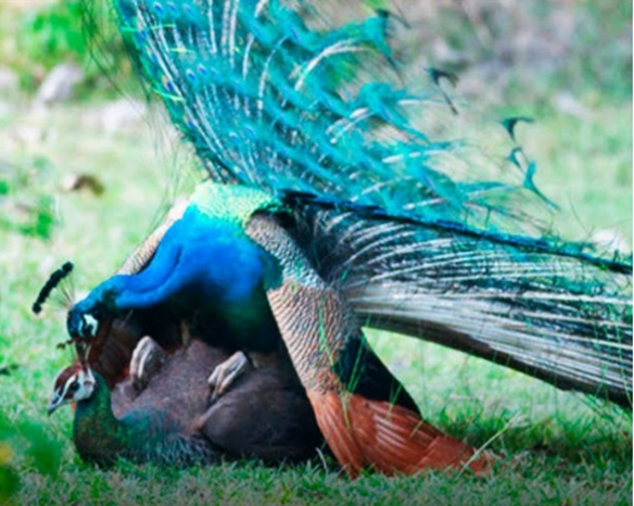 Figure 3. Peafowl mating. The males stands crouched upon the back and hips of the female.