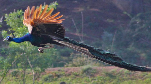 Figure 2. Peacock flying.