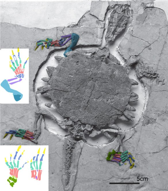 Figure 1. Perochelys (Early Cretaceous) in situ