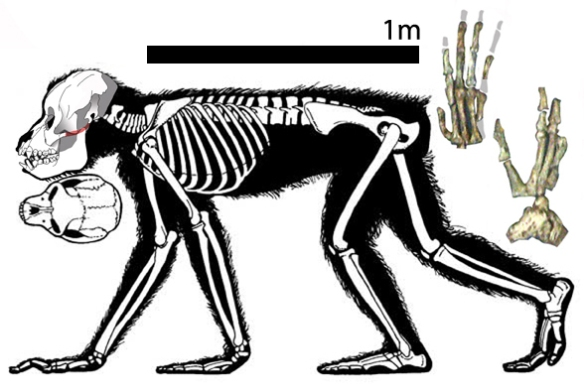 Figure 3. Proconsul displays primitive traits for chimps and humans. It did not walk on its knuckles.