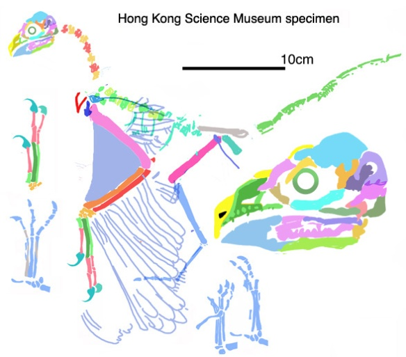 Figure 2. The Hong Kong specimen attributed to Shenzhouraptor reconstructed from a low-rez image.