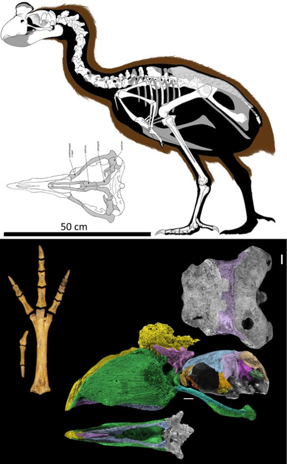 Figure 1. Sylviornis is not a giant chicken. It's a basal predatory bird.
