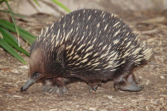 Figure 1. The echidna (genus: Tachyglossus) in life. This slow-moving spine-covered anteater has digging claws.