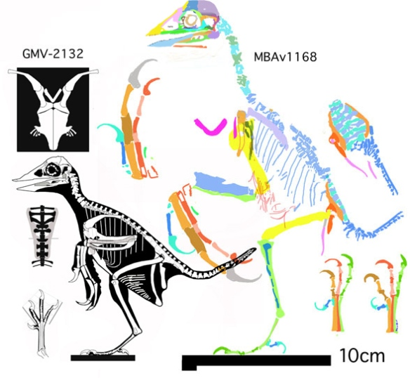 Figure 2. The GMV and MBAv specimens to scale. See text for details.