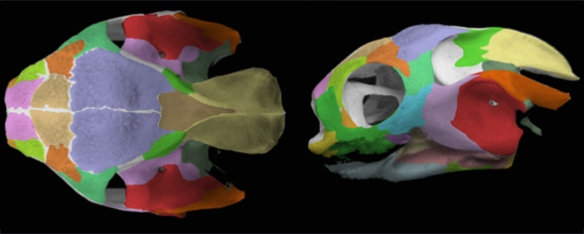 Figure 5. Carettochelys skull in two views. Bones colored here.