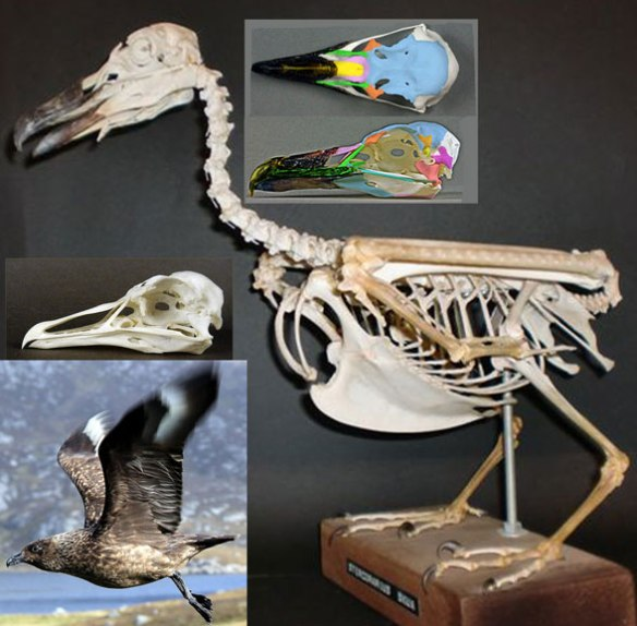 Figure 5. The great skua, Catharacta, is close to the ancestry of dodos, pigeons, Old World Vultures, petrels, auks and puffins.