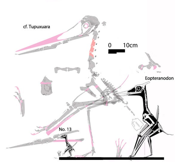 Figure 1. The cf.Tupuxuara specimen is larger than sister taxa in the LPT.